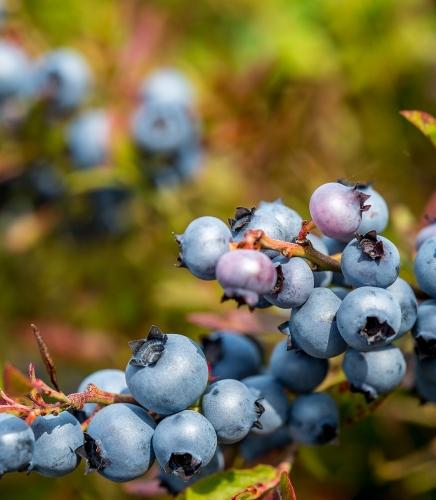 Bleuets Mistassini récolte